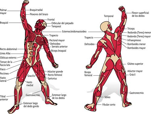 musculos-del-cuerpo